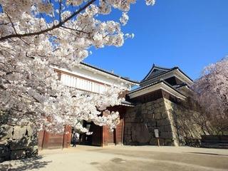 上田城跡公園の桜.jpg