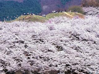 弘法山古墳の桜.jpg