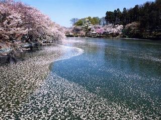 須坂市臥竜公園の桜.jpg